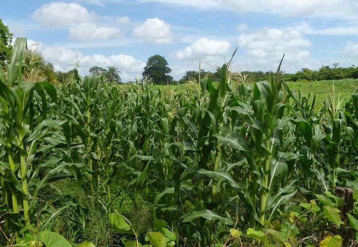Celebran que los plantíos de maíz están en la etapa de espiga. (Raúl Balam/SIPSE)