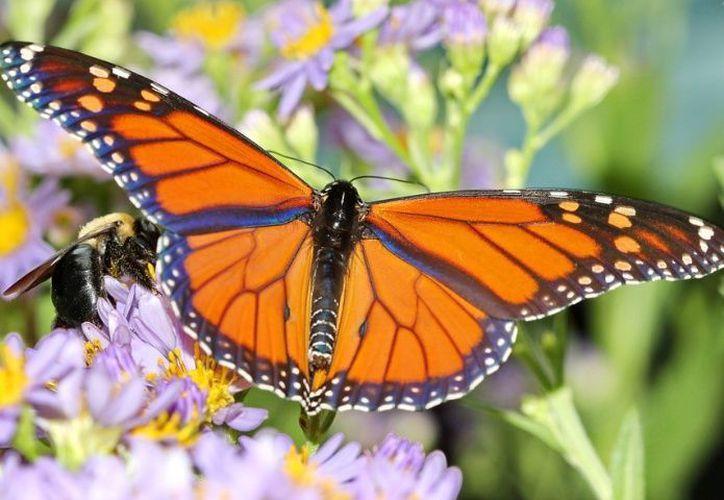 Piden a la comunidad respetar el hábitat de estas mariposas. (debate.com)