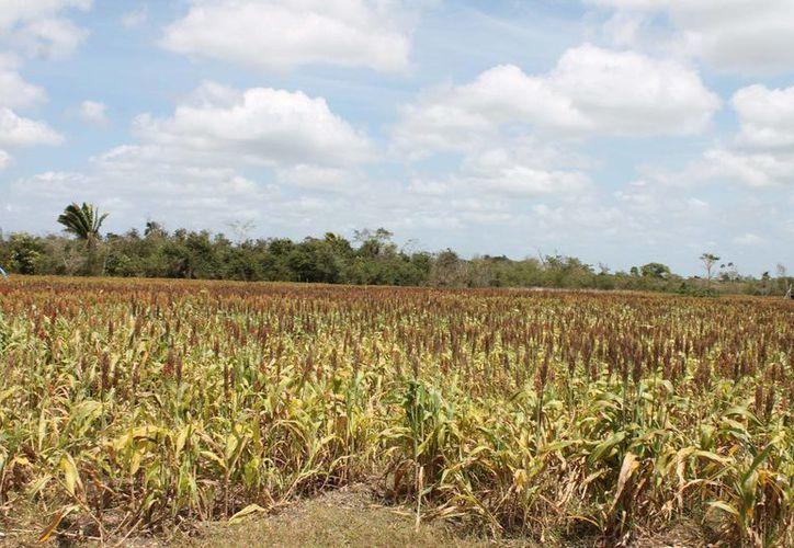 Los precios de la soya en el sur de Estado han bajado, por lo que los productores enfrentan una fuerte crisis. (Harold Alcocer/SIPSE)