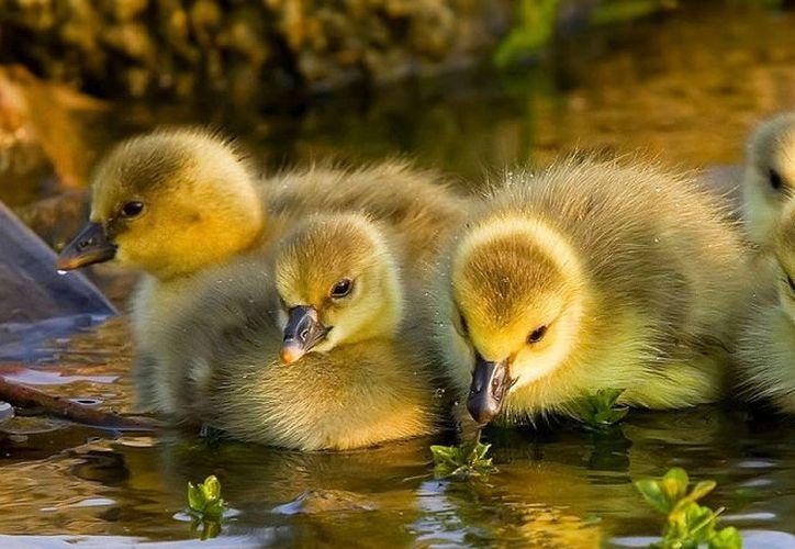 Si alimentar a los patos es de tus actividades favoritas, estamos rompiendo tu corazón con esta noticia. (Contexto/Internet).