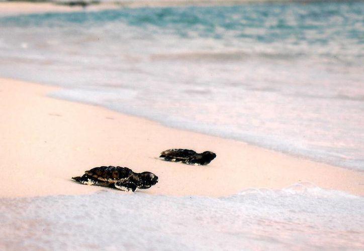 En 2015 se ampliará el cerco de protección de la tortuga marina en el municipio de Solidaridad. (Foto de contexto/Internet)