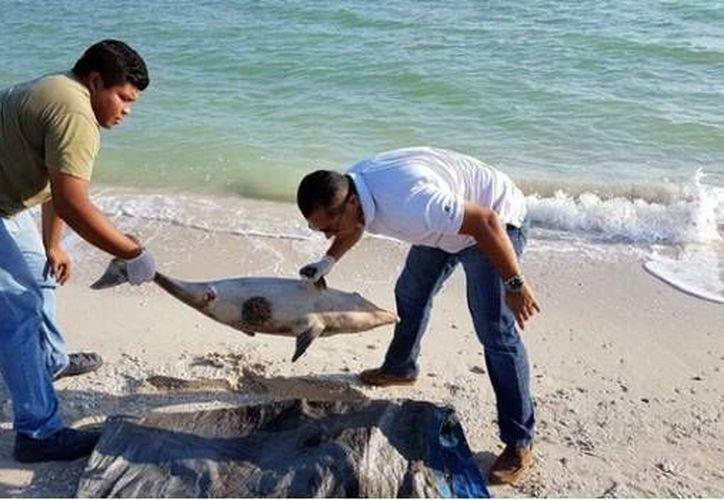 Los cuerpos de los delfines son enterrados para evitar enfermedades y malos olores. (Milenio Novedades)