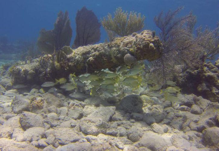 En el documental fueron captados especies marinas que habitan  en el mar Caribe. (Israel Leal/SIPSE)