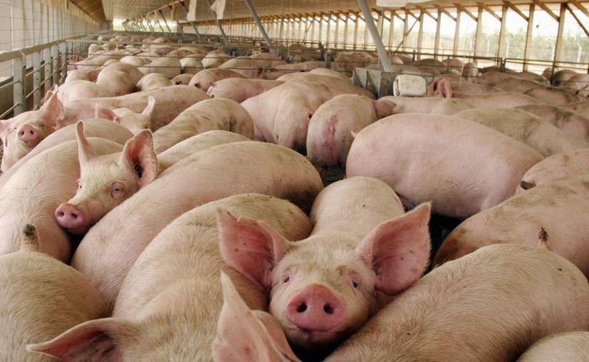 La exportación de carne de cerdo ha generado ingresos importantes en México. Imagen del contexto. (Milenio Novedades)