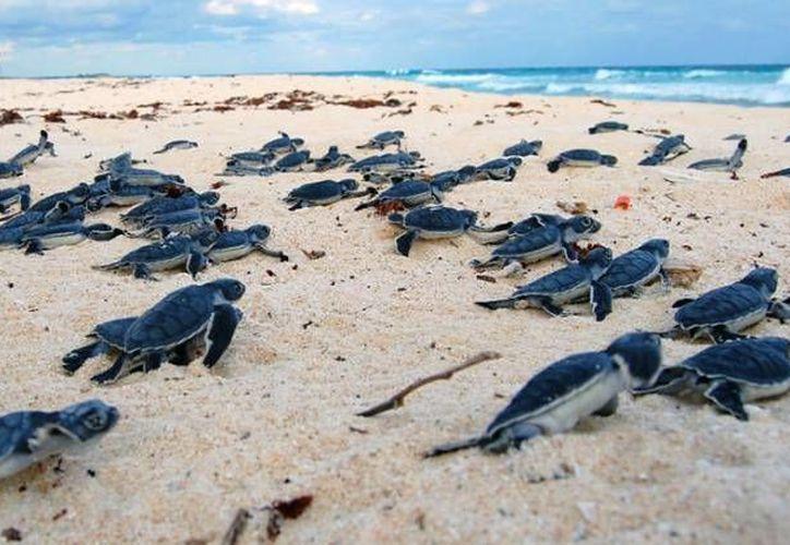 El programa de Protección de la Tortuga Marina incluye la liberación de las crías. (Redacción/SIPSE)