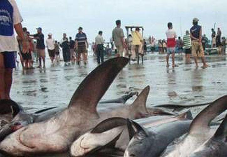 El tiburón es una especie amenazada, más no en peligro de extinción. (Lanrry Parra/SIPSE)