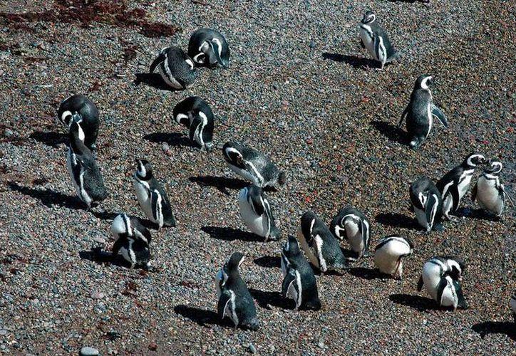 La población de pingüinos de Punta Tombo ha declinado un 24 por ciento en el último cuarto de siglo, principalmente por los cambios de clima. (Efe)