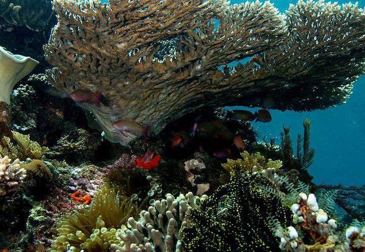 De los 445.2 personas no especializadas, 111.3 (25%), respondieron que los corales son plantas. (Archivo/SIPSE).