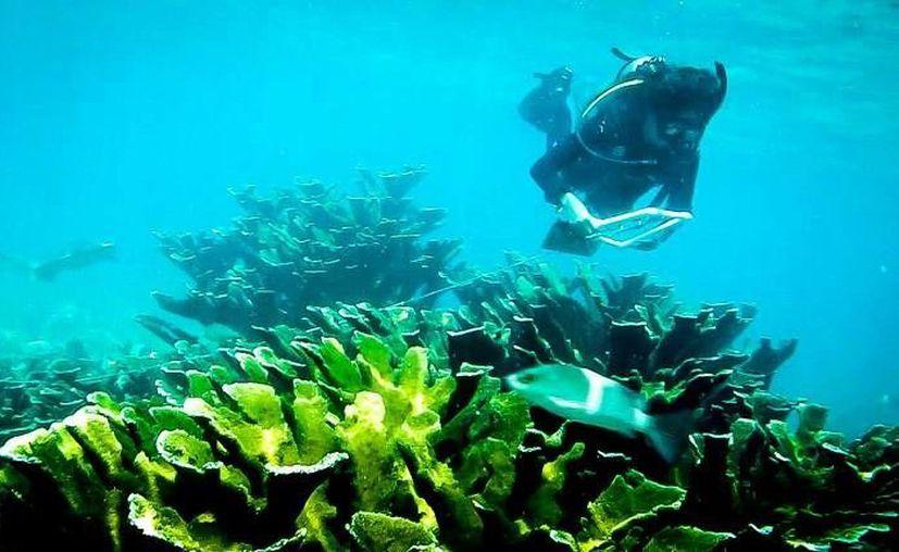 Los arrecifes de Quintana Roo serán monitoreados por expertos este año. (Cortesía/Baruch Figueroa Zavala)