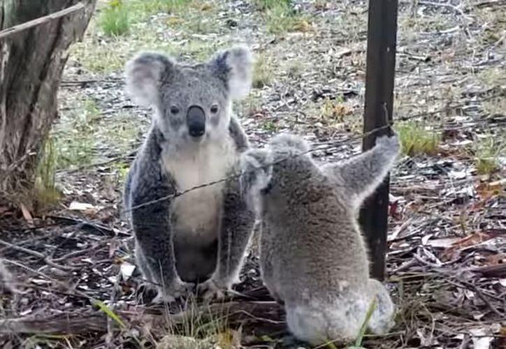 El koala volvió a subir al árbol para compartir un dulce abrazo con su amorosa mamá. (Foto: YouTube)