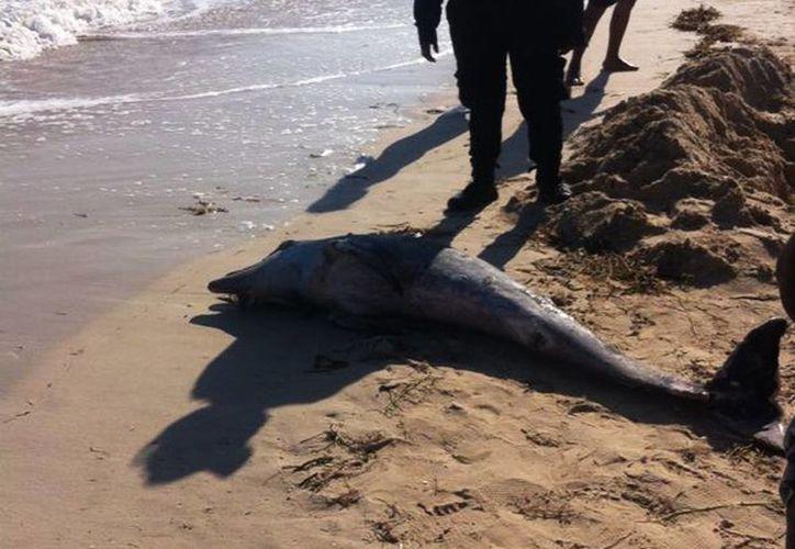 Personal de la Dirección de Ecología del ayuntamiento de Progreso se encargó del levantamiento de los restos mortales del delfín. (SIPSE)