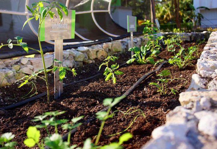 El huerto cuenta con jitomates, acelgas, arúgulas, cilantro, romero y albahaca. (Foto: Daniel Pacheco)