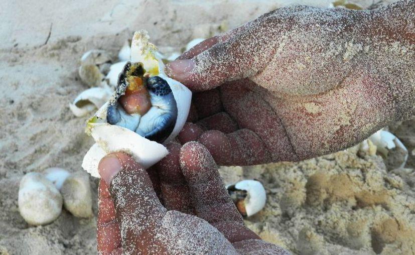 Cada año llegan tortugas de siete diferentes especies a depositar sus huevos en las costas cozumeleñas.  (Notimex)