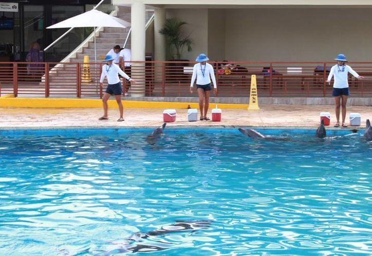 El nado con delfines, algunos de los cuales han nacido en cautiverio, ha causado polémica. (Luis Soto/SIPSE)