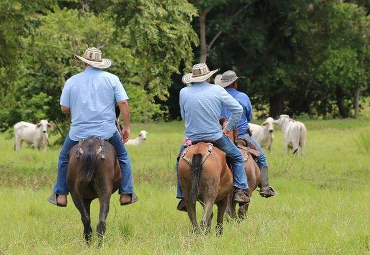 Los agricultores de varias comunidades, han optado por poner en arrendamiento sus terrenos al sector ganadero. (Carlos Castillo/SIPSE)