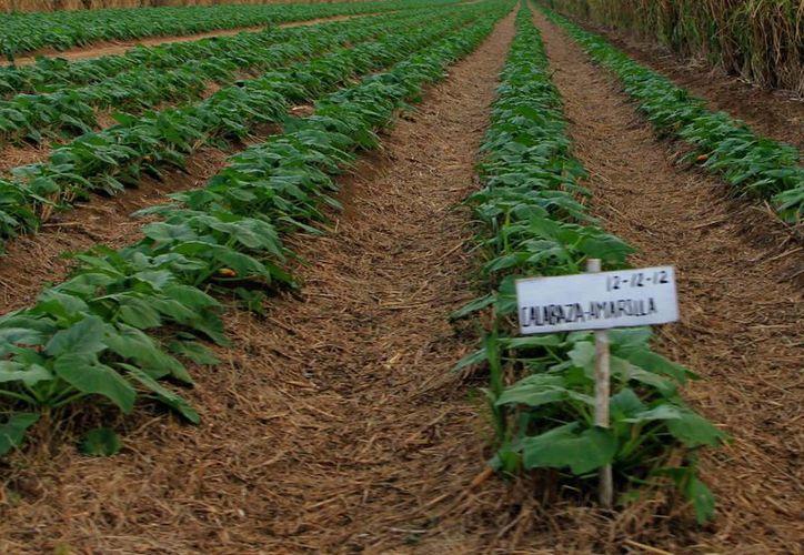 El proyecto pretende tecnificar 30 mil hectáreas en el Estado. (José Acosta/SIPSE)