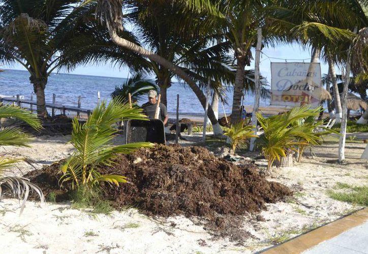 Las brigadas de limpieza en las playas continúan constantemente pero el recale continua y sigue amontonándose en algunos puntos de Mahahual. (Ángel Castilla/SIPSE)