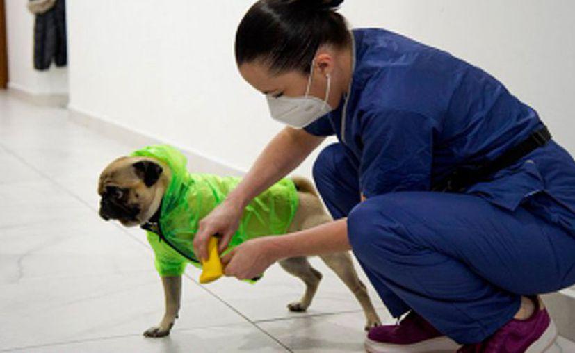 Protegido con impermeable, botas y lentes, el can lleva alegría a los médicos y enfermeros de la clínica. [Foto: Captura de pantalla / Kameo Network]