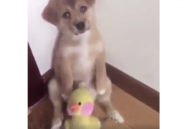Tanto es el amor de este canino por su 'pollito', que su dueño lo amenaza con quitárselo si se sigue comportando mal. (El País-Cali/Especial)