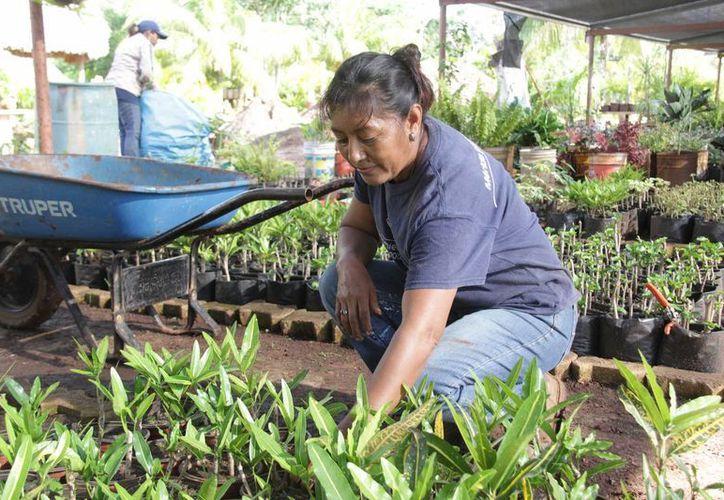 El trabajo es duro, pero vale la pena porque es para mantener bonita a Mérida, dicen empleadas del vivero municipal. (SIPSE)