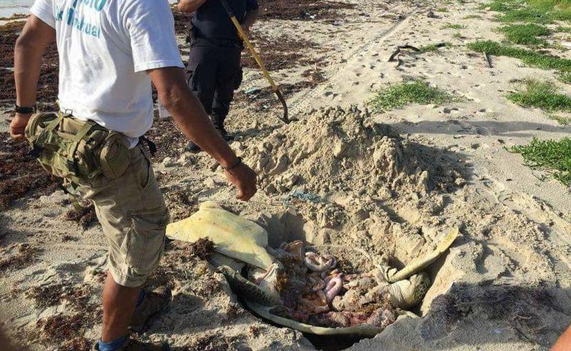 La muerte del quelonio fue reportada a las autoridades, pero no reaccionaron a tiempo, señala el comité de vigilancia. (Joel Zamora/SIPSE)