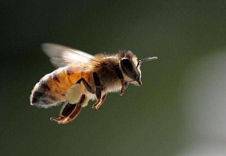 Los insecticidas afectan de tal forma a las abejas que les produce una afectación  grave en el sistema nervioso y les causan la parálisis para posteriormente morir (AP)