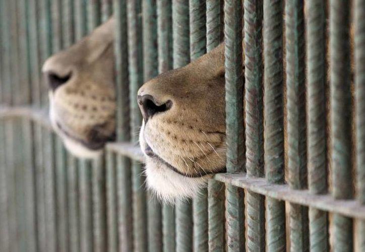 La iniciativa que prohíbe la utilización de animales para el espectáculo de circos en Cancún. (Redacción/SIPSE)