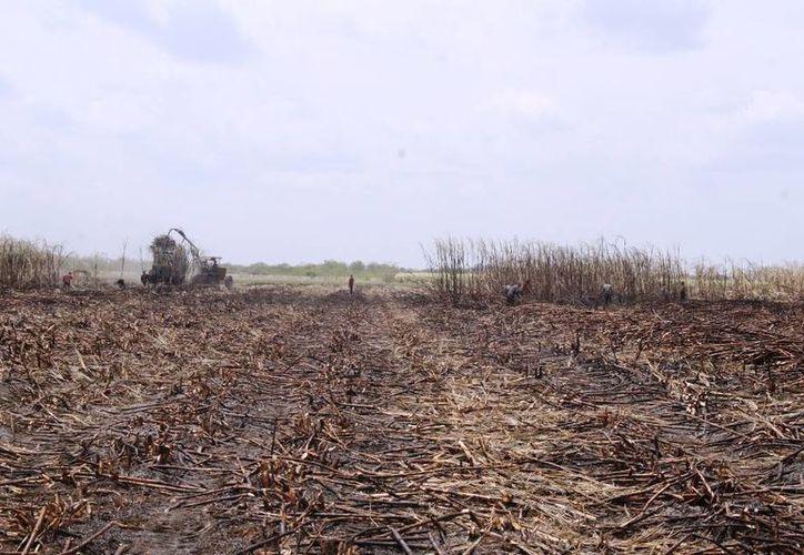 Prevén mantener la superficie de 31 mil hectáreas de siembra para la siguiente zafra. (Edgardo Rodríguez/SIPSE)