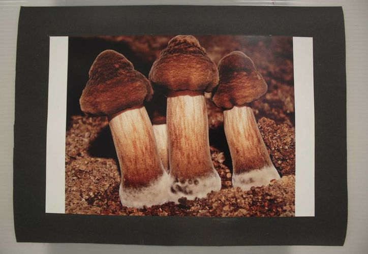 El Itch busca promover el uso de los hongos como alimento y medicina. (Harold Alcocer/SIPSE)
