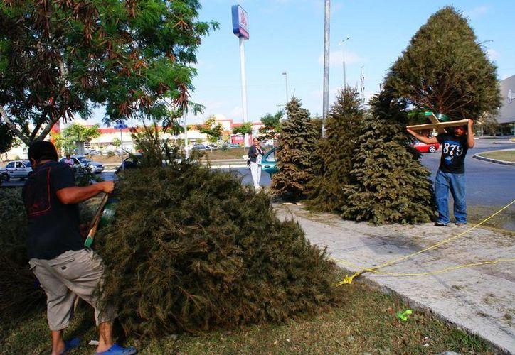 Los 12 centros de acopio del Ayuntamiento de Mérida para árboles de Navidad funcionarán del 9 al 31 de enero, de 08:00 a 15:00 hrs. (Foto: José Acosta/SIPSE)