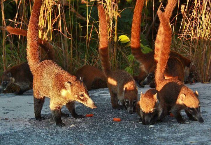 A través de un convenio con la Conabio el gobierno del Estado se comprometió a la protección de la biodiversidad. (Gustavo Villegas/SIPSE)