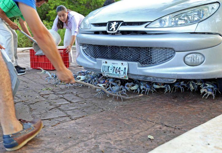 Los cangrejos fueron  encontrados  en árboles, motores y llantas de autos estacionados. (Cortesía)