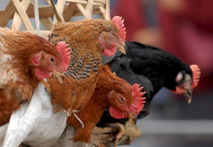 La OMS ha indicado que el virus H7N9 de la gripe aviar es altamente contagioso entre animales. (Archivo/EFE)