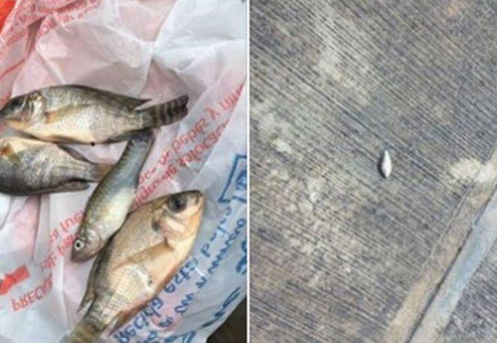 Se trata de peces de crías o alevines que cayeron y fueron grabados en video en la escuela Félix de Jesús.(Excélsior)
