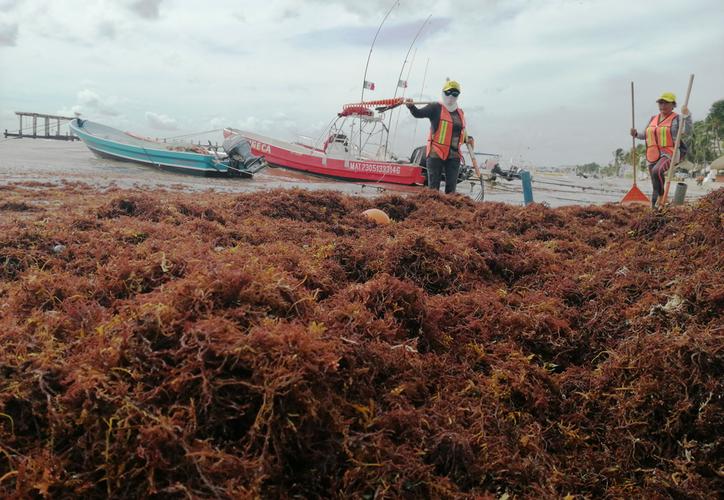 el personal de limpieza contratado por el gobierno municipal recogió el sargazo junto con elementos de la Dirección de Zona Federal Marítimo Terrestre. (Octavio Martínez/SIPSE)