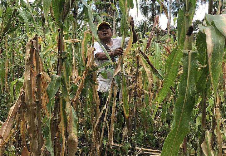 El año pasado se cultivaron nueve mil 830 hectáreas en el municipio de Bacalar. (Javier Ortiz/SIPSE)