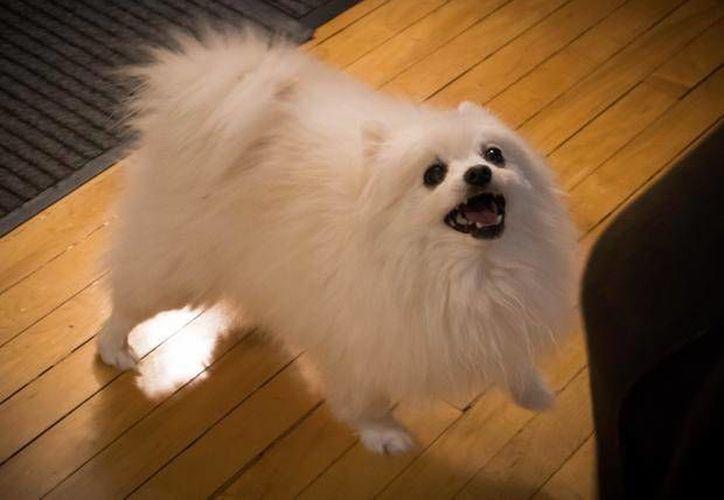 Gabe, un perro muy famoso en Youtube, falleció de un ataque al corazón. (posta.com.mx)