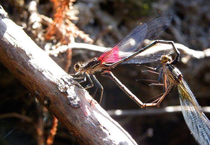 Los insectos son vitales para la Tierra, si se extinguieran también lo haría gran parte de la flora y la fauna, recuerda una especialista. (Archivo/Notimex)