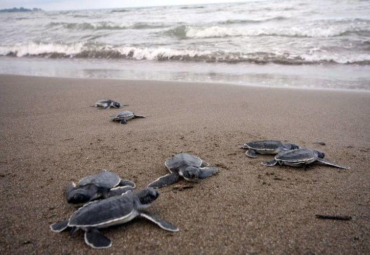 A través del programa de protección y conservación de tortugas marinas, se liberaron 12 mil 684 crías de tortugas han sido liberadas. (Contexto/Internet)