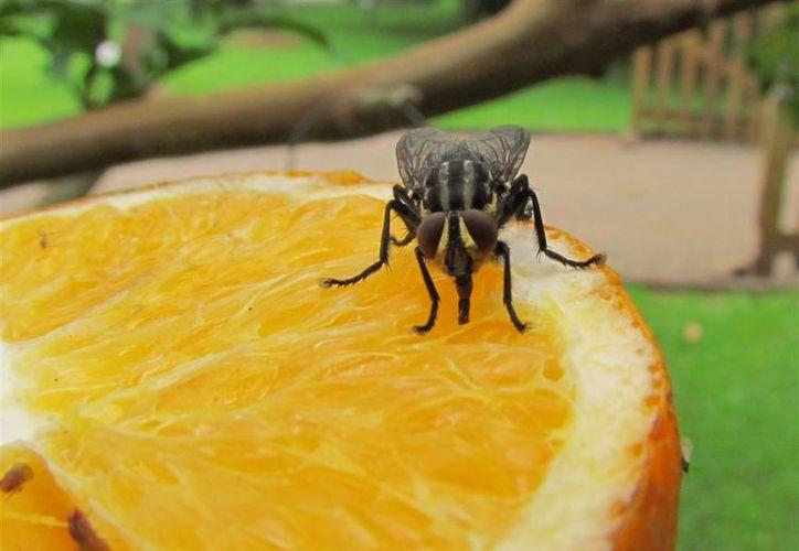 Las moscas domésticas adultas pueden transmitir más de 100 enfermedades y parásitos diferentes. (Foto: Astrolabio)