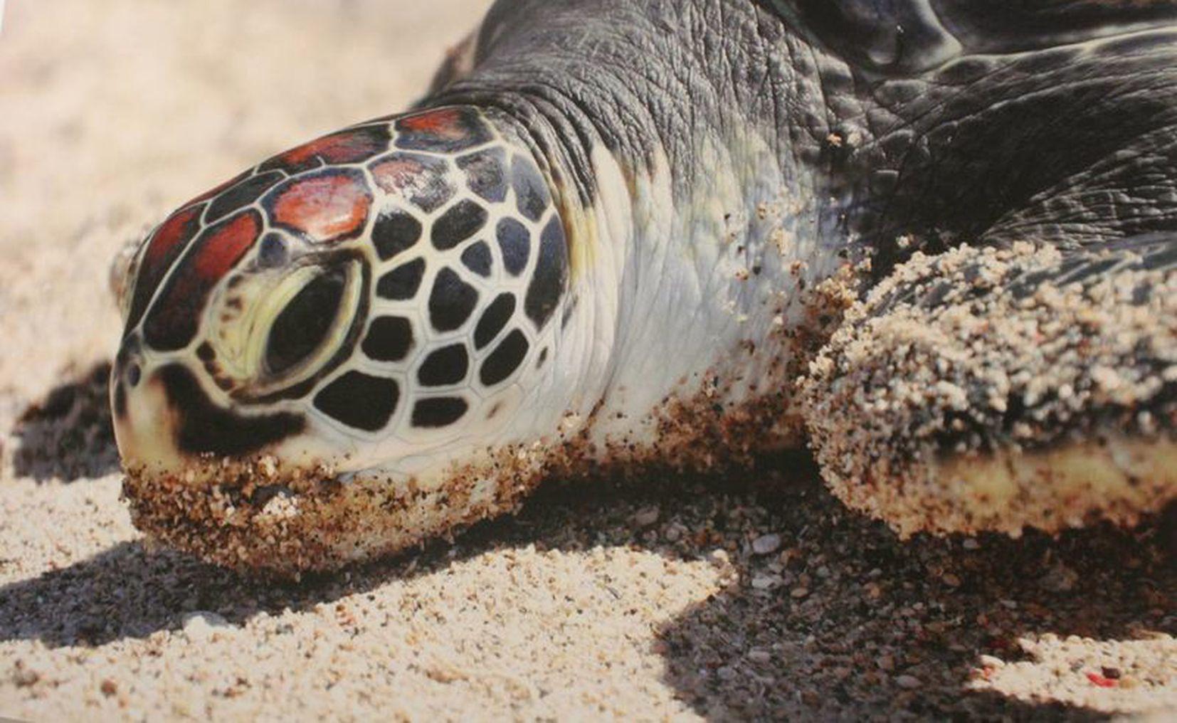 Quintana Roo | En Holbox está la única playa donde anida la ...
