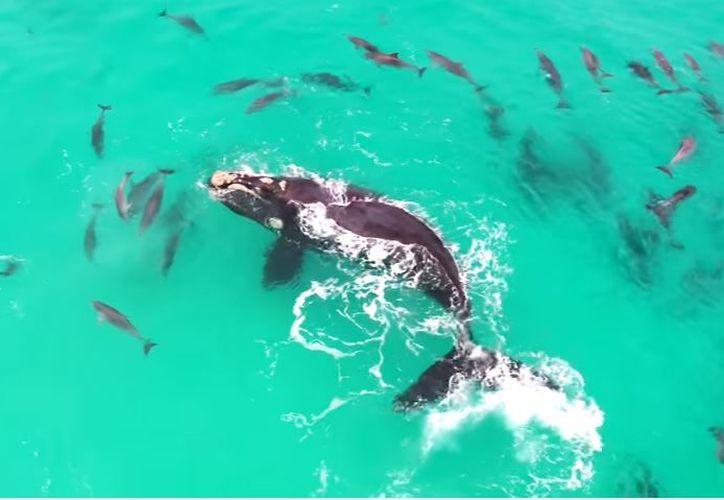 Una ballena jorobada juega con un conjunto de delfines en las costas australianas. (Foto: YouTube)
