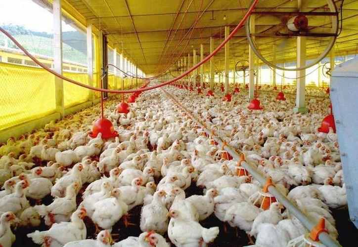 Yucatán hoy aporta el 40 %  de la producción de huevo y pollos en el país, sobre todo gracias a que no ha sido afectado por la gripe aviar. (SIPSE)