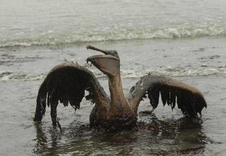 Los científicos advierten de que el ecosistema donde ocurrió el derrame de BP no se ha recuperado. (Achivo/AP)