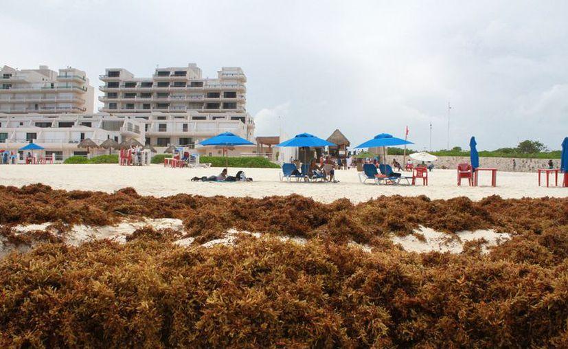 La presencia de sargazo se volverá algo permanente en las playas del estado. (Sergio Orozco/SIPSE)