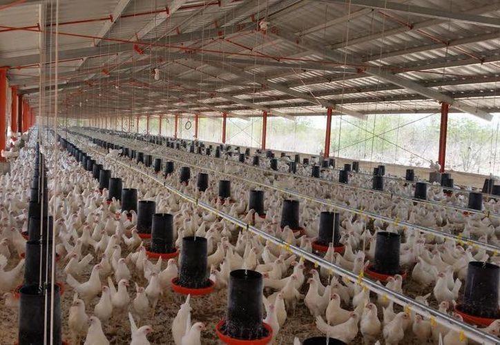 Muchas aves mueren debido al calor de 40 o más grados, lo que afecta seriamente la producción de huevo y pollo en Yucatán. (José Acosta/Milenio Novedades)