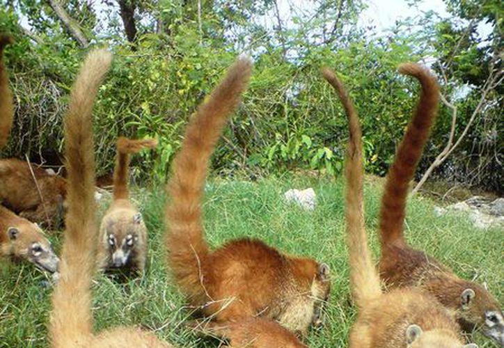 Los coatís suelen vivir en grupos grandes. (Milenio Novedades)