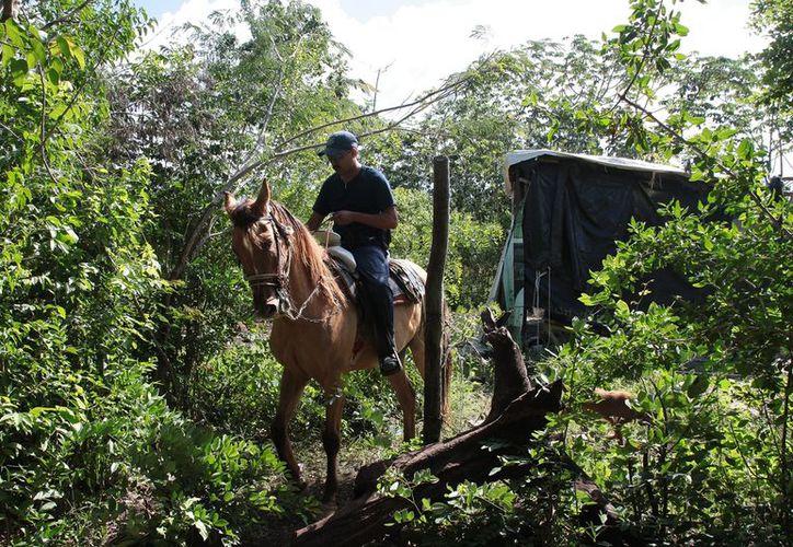 Los caballos tienen una jornada de trabajo de cuarto horas diarias. (Julián Miranda/SIPSE)
