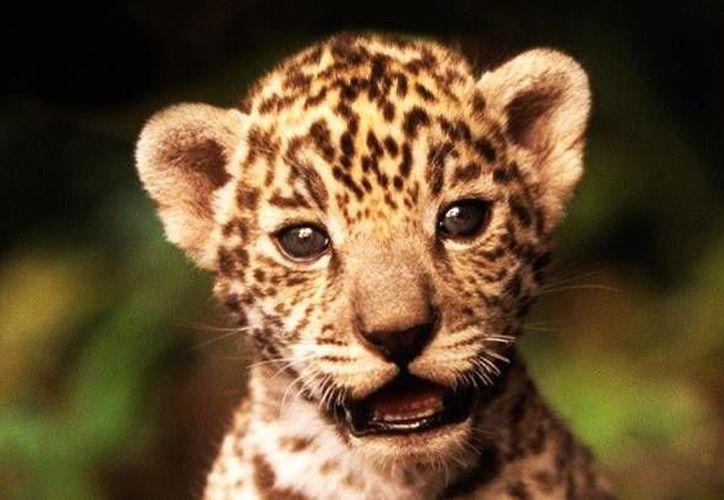 Los guardias trataron de justificar la muerte del jaguar. (Foto de Contexto/SIPSE)