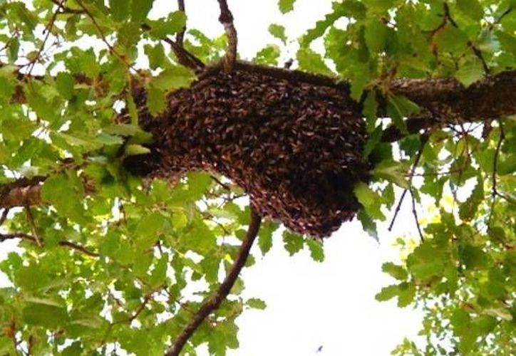 Las abejas africanizadas que atacaron a una familia en Sitilpech vivían en el terreno de un vecino, que ya estaba enterado de los enjambres en su predio. (Agencias)